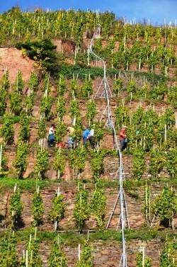 Steilstlagen Weinberg des Weingutes bei der Traubenlese
